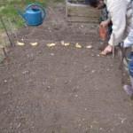 Dominique plante des pommes de terre